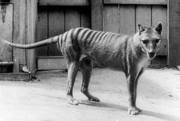 1403 Joe Rogan Forrest Galante Thylacine